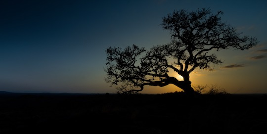 Wild fig tree in South Africa at sunset.