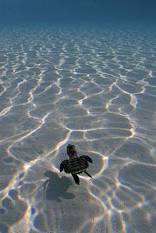 Emory magazine summer 2009 milagros de la vidaturtles a baby sea turtle swimming out to sea publicscrutiny Gallery