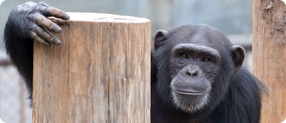 the physical attributes of chimpanzees Chimpanzee's and tool use - introduction: chimpanzees are part of the non-human primate group though we share a common ancestor, evolution has pushed us in.
